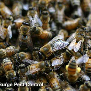 honey bee drones with workers