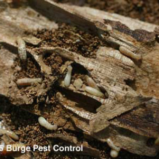 dyrwood termites devouring wood