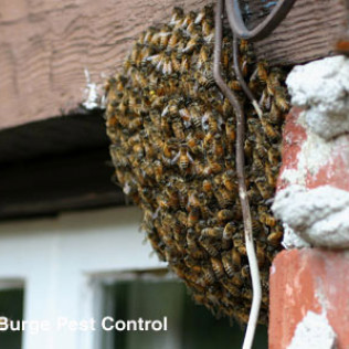 honey bee swarm ball on building