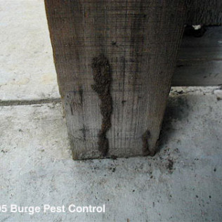 termite tubes on a post
