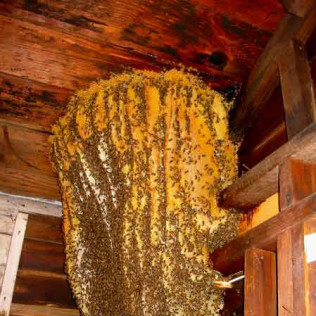 honey bee nest in garage
