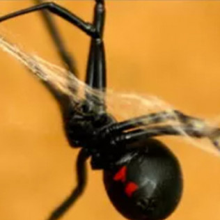 black widow spider control