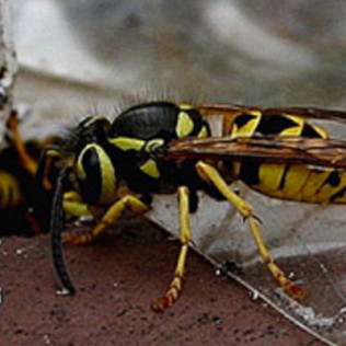 yellow jacket exterminator